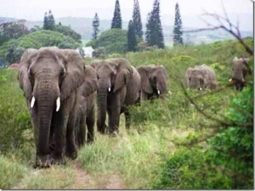 ¿Como supieron los elefantes que su protector humano y amigo había muerto?